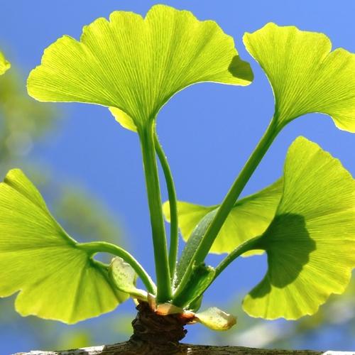 Листата на вечнозеленото дърво са уникални по своя химичен състав. Комбинацията от гинколиди, флавоноиди и витамините С, В и А не се среща в нито един растителен вид, с изключение на гинко билоба.